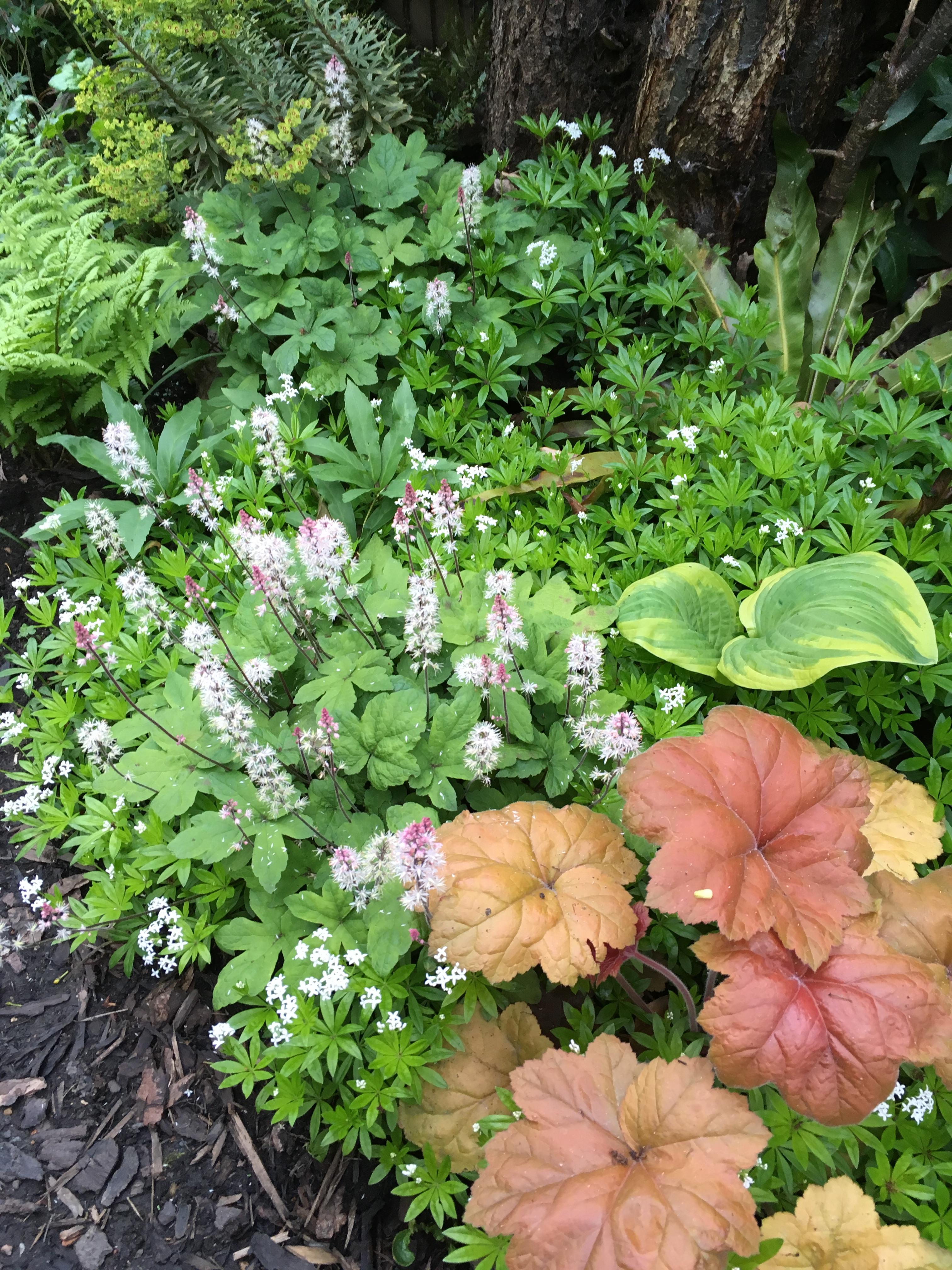 Sweet woodruff Galium ordoratum TINY London Garden